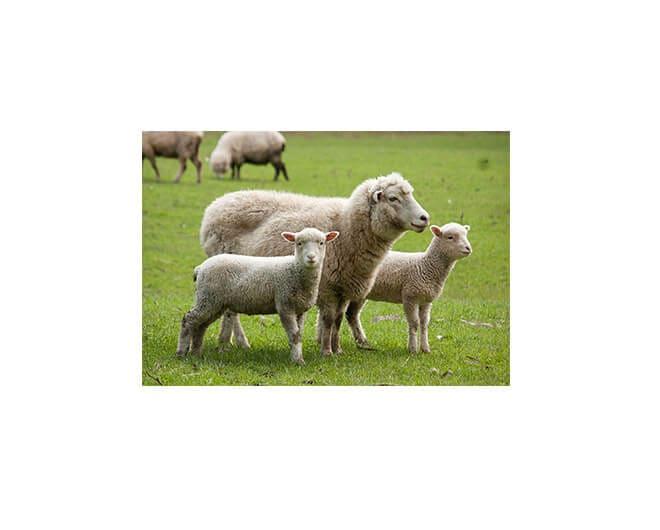 Criação de ovinos comum na Nova Zelândia